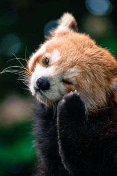 Great stuff that you did not know about red pandas - Süße Tiere - Animals Red Panda Cute, Little Panda, Cute Little Animals, Cute Funny Animals, Photo Panda, Fluffy Animals, My Spirit Animal, Pet Birds, Animals Beautiful