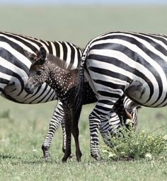 A polka-dotted zebra has been spotted in the Masai Mara National Reserve in Kenya. The foal suffers from a genetic mutation called pseudomelanism. Zebras, Baby Animals, Cute Animals, Wild Animals, Unusual Animals, Exotic Animals, Shetland, White Reindeer, Baby Zebra