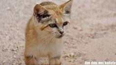 chat sauvage parc des félins