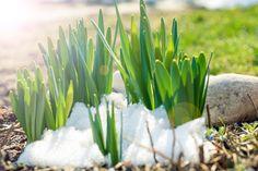 Kylmä kevät mietityttää puutarhuria. Miten kasvit selvisivät talvesta? Mitä puutarhassa kannattaa ja ei kannata tehdä, kun kevät on myöhässä?