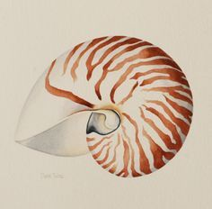 Elaine Twiss artist - Shells Colection, the Nautilus Shell painting for just $395 :) Seashell Painting, Seashell Art, Seashell Drawings, Beach Watercolor, Watercolor Animals, Painting & Drawing, Watercolor Paintings, Watercolour, Ocean Paintings
