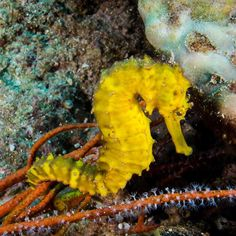 Our resident #seahorse Sammy is still here and still a favourite for our #scubadivers to find