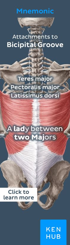 The latissimus is the widest muscle in the body and inserts between the Pectoralis major and teres major muscles. Click for more info! #anatomy #mnemonic