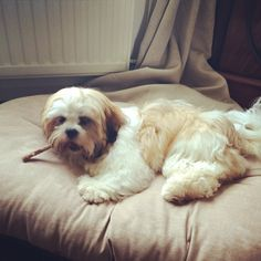 4 month old Lhasa Apso named Willow