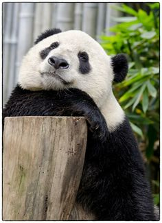 Yun Zi at San Diego Zoo before he goes to China