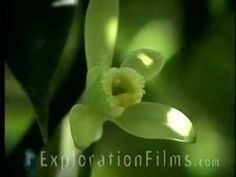 Many orchids co-evolved to select species of bees. In the case of the vanilla orchid, it was long believed to be a Mexican stingless bee, Melipona.