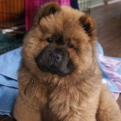 Chow Chow What a sweet face!