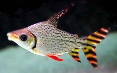 Flagtail Prochilodus 2 | Flickr - Photo Sharing!