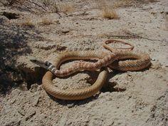 Photo By Hpward Clark Red Racer Masticophi Flagellum From Mojave Desert