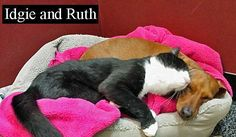"""""""Paralyzed cat loved and guarded by loyal Dachshund"""" Posted January 18, 2014 This is the love story between Idgie, a dog, and Ruth a paralyzed cat, who formed a very special bond after being rescued together back in October. #cats #dogs"""