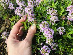 Korn, Herbs, Garden, Fitness, Plants, Garten, Lawn And Garden, Herb, Gardens