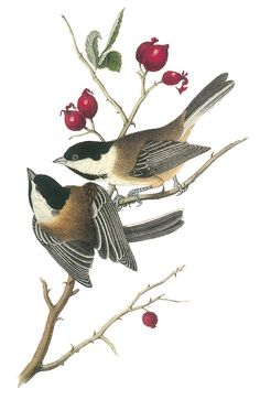 Choose your favorite north american wildlife paintings from millions of available designs. All north american wildlife paintings ship within 48 hours and include a money-back guarantee. Audubon Prints, Audubon Birds, Vintage Bird Illustration, Botanical Illustration, Vintage Illustrations, Wildlife Paintings, Wildlife Art, Bird Paintings, Chickadee Tattoo