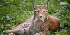 TOP 27 lynx cat photos and pictures. Funny Cats, Funny Animals, Cute Animals, Eurasian Lynx, Wallpaper Pictures, Funny Cat Pictures, Illustrations, Hd 1080p, Cat Memes