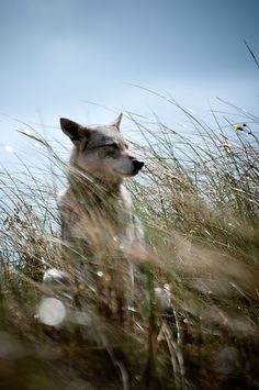 Timber Wolf Sitting in the Wind.