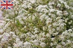 Cow parsley at New Covent Garden Flower Market - May 2014
