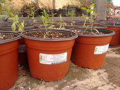 Psychotria Elata ( beso de novia)  Visita nuestro sitio web y adquiere tu planta exótica Enviamos a todo México por estafeta  http://www.stevia-kaa-hee.com/tienda-online/