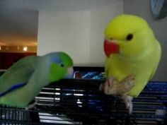 Pacific Parrotlet and his friend