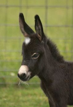 Black Miniature donkey (Jennet) named Incognito barn name Nito. - from Half Ass Acres. So cute Baby Donkey, Cute Donkey, Mini Donkey, Baby Cows, Donkey Donkey, Baby Elephants, Cute Baby Animals, Farm Animals, Animals And Pets