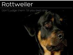 Rottweiler Don't Judge