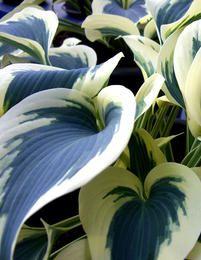 Kuunlilja firn line sinertävä Outdoor Plants, Blue Ivory, Garden Planning, Curb Appeal, Shrubs, Perennials, Different Colors, Planting Flowers, Roots