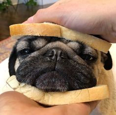 Pugs are so super funny dogs! Cute Little Animals, Cute Funny Animals, Funny Dogs, Pug Puppies, Cute Dogs And Puppies, Terrier Puppies, Doggies, Boston Terrier, Puppies Tips
