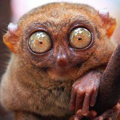 https://i.pinimg.com/236x/f9/75/79/f9757988f624543deb6f970b55888881--tarsier-funny-animals.jpg