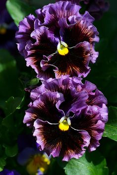 Pansies | by Liisamaria