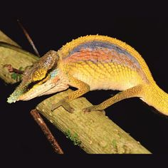 'Rainbow' chameleon among three new species described from Madagascar Rabbit Cages, Les Reptiles, Reptiles And Amphibians, Rainforest Animals, Nature Animals, Odd Animals, Beautiful Snakes, Animals Beautiful, Madagascar