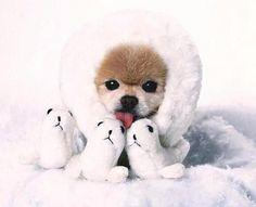 Eskimo dog or maybe four baby seals~