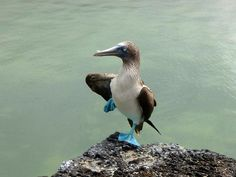 I love dancing boobies! Happiness in a photo. Galapagos Adventure Tour coming soon! www.finisterra.ca  #galapagos