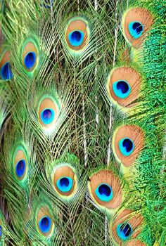 peacock print by Light of Lorraine Photography