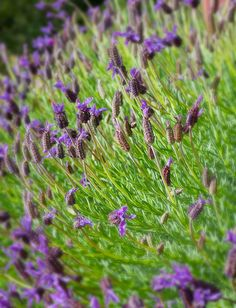 Lavender Plant   By Coastal Photography