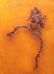 Eopelobatesis an extinct genus offrog.