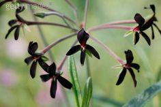 pelargonium sidiodes (black flowered geranium)