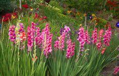 Gladiolas in the garden.