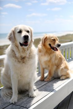 Golden Retrievers                                                       …