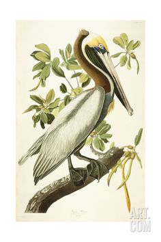 Brown Pelican, Male Adult, C.1827-1838 Giclee Print by John James Audubon at Art.com