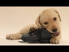 How To Stop Puppies From Chewing - YouTube