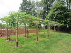"""Muscadine-type grape arbor... complete with spigots at each vine, each with """"drip"""" feature for maximum benefit.  Posts, topped with cattle panels, 2 panels wide, 16' length for each vine.   The vines pictured here are 2 year old vines."""