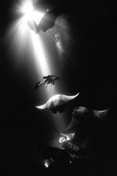 Midnight Manta Rays, Kona, Hawaii by David Doubilet #scuba #underwater
