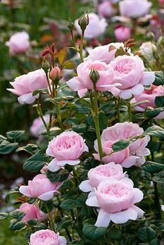 Garden Flowers David Austin Rose The Mayflower May Flowers, Pretty Flowers, Pink Flowers, Exotic Flowers, Yellow Roses, Beautiful Roses, Beautiful Gardens, Queen Of Sweden Rose, Rose Queen