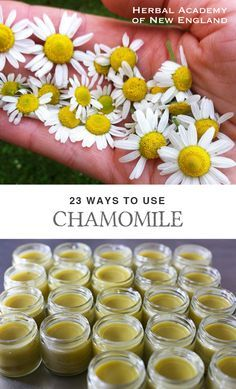23 Ways to Use Chamomile - Herbal Academy blog