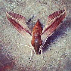 Tersa sphinx moth. Photo by jsoplop