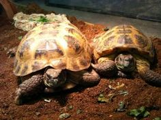 Micky and Natasha is an adoptable Russian Tortoise in Culver City, CA. Micky and Natasha are two friendly Russian tortoises (one male, one female) that were brought to us by their owners who could no ...