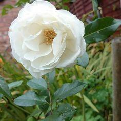 #flower #rose #garden