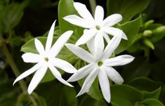 white jasmine flower Jasmine Star, White Jasmine, Gardenias, Types Of White Flowers, Trachelospermum Jasminoides, Balcony Flowers, Moon Garden, Evergreen Shrubs, White Gardens