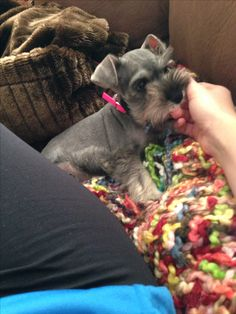 Miniature schnauzer puppy- 9 weeks old. I remember the day I brought Rocko home. He was tiny like this!