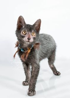 "I'm not a fan of the ""naked"" cats but this is a cool breed of cat,the lykoi.  (I might have misspelled it.)"
