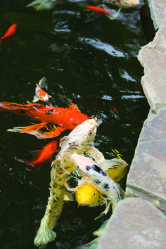 1000 images about tetrapond on pinterest beauty and the for What do koi fish eat