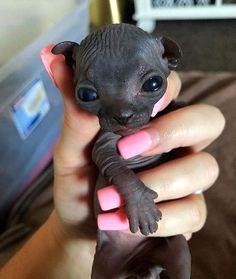 Cute Little Animals, Cute Funny Animals, Cute Dogs, Pretty Cats, Beautiful Cats, Animals Beautiful, Cute Hairless Cat, Sphinx Cat, Cat Aesthetic